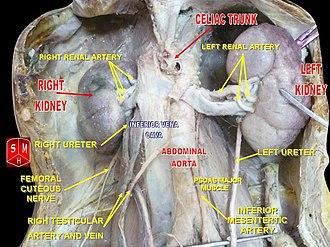 Testicular artery - Image: Spermatic vessels