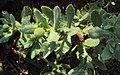 Sphaeranthus indicus 04.JPG