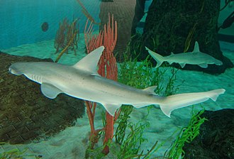 Sarasota, Florida - Bonnethead sharks seen at the Mote Marine Laboratory