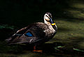 Spot-billed duck in sunlight filtering through trees.jpg