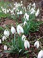 Spring Snowdrops.jpg