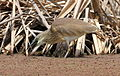 Squacco Heron, Ardeola ralloides at Marievale Nature Reserve, Gauteng, South Africa (15456700987).jpg