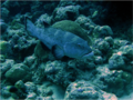 Squaretail grouper (Plectropomus areolatus) from Lakshadweep.png