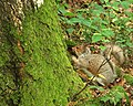 Squirrel, Hillsborough Forest - geograph.org.uk - 930053.jpg