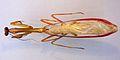 Stagmatoptera flavipennis TPopp.jpg