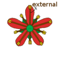 Stamen morphology cicly and position biseriate obdiplostemonous.png