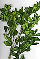 Starr-010726-9006-Murraya paniculata-branch-Kuapo-Maui (24506906156).jpg
