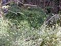 Starr-020221-0042-Erigeron karvinskianus-habit in gulch-Polipoli-Maui (23918438244).jpg