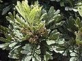 Starr-030418-0064-Filicium decipiens-leaves and flowers-Kula-Maui (24548305171).jpg