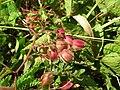 Starr-050517-1450-Antigonon leptopus-flowers-Kakahaia-Molokai (24395306169).jpg