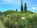 Starr-060820-8593-Cenchrus purpureus-habitat and horses grazing-Makawao-Maui (24746416602).jpg