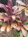 Starr-060916-8976-Cordyline fruticosa-red leaves-Makawao-Maui (24865422535).jpg