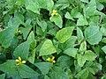 Starr-080531-4790-Calyptocarpus vialis-flowering habit-Charlie barracks Sand Island-Midway Atoll (24817389381).jpg