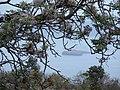 Starr-090520-8208-Melia azedarach-flowers and leaves view Molokini-Keokea-Maui (24956006485).jpg