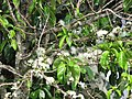 Starr-090610-0447-Syzygium malaccense-white flowers-Haiku-Maui (24336686383).jpg