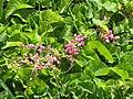 Starr-090623-1663-Antigonon leptopus-flowers and leaves-Hana-Maui (24340245643).jpg