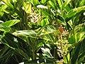 Starr-090714-2702-Alpinia zerumbet-flowering and variegated habit-Napili-Maui (24342749183).jpg
