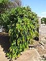 Starr-090803-3556-Polyalthia longifolia var pendula-habit-Waiehu-Maui (24603313519).jpg