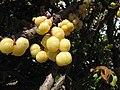 Starr-090806-4020-Phyllanthus acidus-fruit-Kahului-Maui (24878446901).jpg