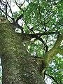Starr-091104-9260-plant-Kigelia africana-trunk and canopy-Kahanu Gardens NTBG Kaeleku Hana.jpg