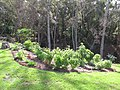 Starr-091108-9372-Carica papaya-in vegetable garden-Olinda-Maui (24358513614).jpg