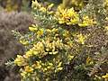 Starr-110705-6696-Ulex europaeus-flowers-Waiale Gulch-Maui (24980013162).jpg