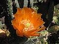Starr-120430-5382-Opuntia ficus indica-flower-Kula-Maui (25140714325).jpg