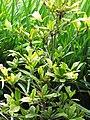Starr-120606-7074-Synsepalum dulcificum-habit-Laulima Farm Kipahulu-Maui (24517926403).jpg