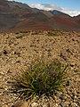 Starr-121017-0948-Carex wahuensis-habit-Puu o Maui HNP-Maui (24826326209).jpg