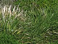 Starr-130322-3770-Zizania latifolia-habit-Hanalei NWR-Kauai (24578830244).jpg
