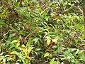 Starr-130605-4701-Asparagus asparagoides-fruiting habit-Kula-Maui (25118328611).jpg