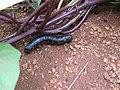 Starr-141217-5586-Ipomoea batatas-plantings with sweet potato hornworm Agrius cingulata larva-Lua Makika-Kahoolawe (25249489575).jpg
