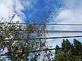 Starr-150108-3380-Caesalpinia decapetala-habit after control-Kekaulike Ave Kula-Maui (24633767294).jpg
