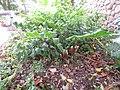 Starr-180810-5087-Zingiber zerumbet-flowering habit-Maui Nui Botanical Garden Kahului-Maui (30834310978).jpg