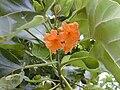 Starr 010212-0378 Cordia subcordata.jpg