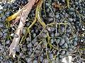 Starr 010420-0113 Livistona chinensis.jpg