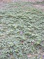 Starr 030612-0061 Tribulus terrestris.jpg