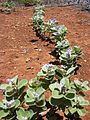 Starr 030731-0053 Vitex rotundifolia.jpg
