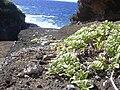 Starr 040711-0053 Melanthera integrifolia.jpg