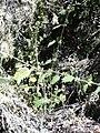 Starr 040723-0098 Hesperocnide sandwicensis.jpg