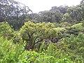 Starr 060422-9421 Syzygium sandwicensis.jpg