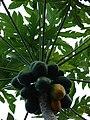 Starr 061105-1376 Carica papaya.jpg