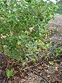 Starr 061129-1692 Chenopodium oahuense.jpg