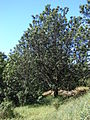Starr 061201-1742 Grevillea robusta.jpg
