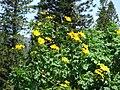 Starr 070403-6480 Tithonia diversifolia.jpg