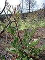 Starr 070908-9397 Rubus niveus f. b.jpg
