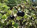 Starr 080603-5685 Solanum nelsonii.jpg