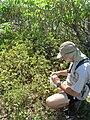 Starr 080603-9124 Solanum nelsonii.jpg