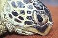 Starr 990404-0434 Casuarina equisetifolia.jpg