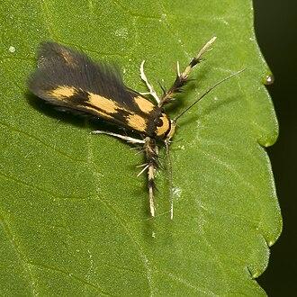 Oecophoridae - Stathmopoda pedella (Stathmopodinae) near Ilmenau (Thuringia, Germany)
